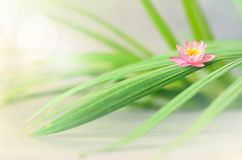 Pink flower lotus and green palm leaf. Spa concept. Pink flower lotus and green palm leaf. Zen and spa concept royalty free stock photo