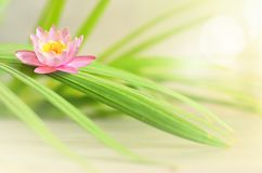 Pink flower lotus and green palm leaf. Spa concept. Pink flower lotus and green palm leaf. Zen and spa concept stock photography