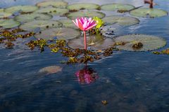 Pink flower of lotus with leaves in lake. Pink flower of lotus with leaves in blue lake stock images