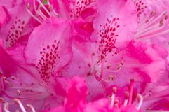 Pink flower macro Royalty Free Stock Photos
