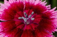Pink flower macro. Gradient pistils Royalty Free Stock Photo