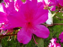 Pink flower. The pink flower macro at spring time Royalty Free Stock Photos