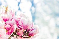 Pink flower magnolia Royalty Free Stock Image