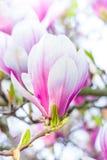 Pink flower magnolia Stock Image