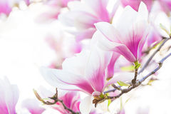 Pink flower magnolia Stock Photography