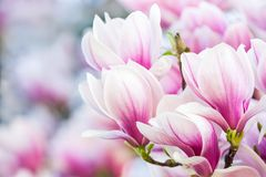 Pink flower magnolia Royalty Free Stock Photography