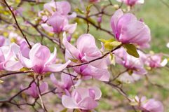 Pink flower of a magnolia Royalty Free Stock Images