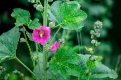Pink flower of mallow bloomed on a light summer day. Bee flies t. O mallow to collect honey and pollen. Flowers of Ukraine, mallow Royalty Free Stock Images