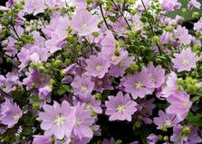 Pink flower mallow close-up garden outdoor summer blossom. Pink flower mallow close-up summer outdoor bouquet blossom Stock Image