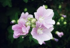 Pink flower mallow close-up macro bokeh background blossom outdoor garden. Day summer Royalty Free Stock Photo