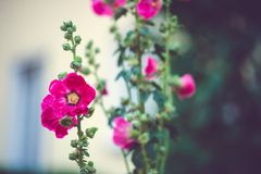 Pink flower mallow flower Royalty Free Stock Photos