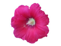Pink flower mallow isolated closeup. On a white background Stock Images