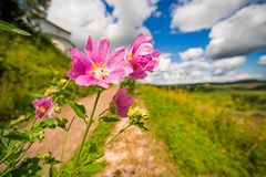Pink flower malva on a background of field, road and sky. Pink flower malva on a background of field, road and clouds Royalty Free Stock Photo