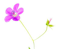 Pink flower of Marsh Cranesbill or Geranium palustre isolated on white Stock Photography