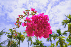 Pink flower. Mediterranean floral background,bougainvillea red flowers bushes Stock Photography