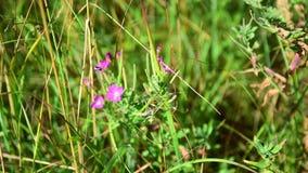 Pink flower Melandrium dioicum among the green grass stock footage