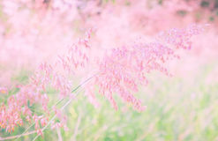 Pink flower Melinis repens texture background Stock Photography