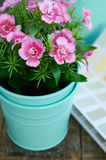 Pink flower in minty flower pot on wooden table. Spring pink flower in minty flower pot on rustic wooden table Royalty Free Stock Photos