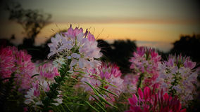 Pink flower in the morning. Cosmos flower field in the morning @ Pho foi lom Royalty Free Stock Photo