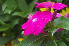 Pink Flower. Morning dew covered pink pansy Royalty Free Stock Images