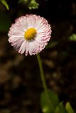 Pink flower  in morning dew Royalty Free Stock Photos
