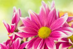 Pink flower. Pink mum flower blooming in the garden Stock Images