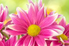 Pink flower. Pink mum flower blooming in the garden Royalty Free Stock Image