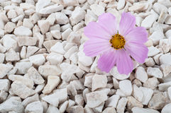 Pink flower in nature. It grows on rocks in the rock Royalty Free Stock Photo