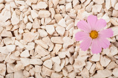 Pink flower in nature. It grows on rocks in the rock Royalty Free Stock Photography