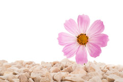 Pink flower in nature. It grows on rocks in the rock. Isolated Royalty Free Stock Images