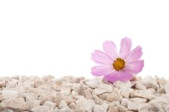 Pink flower in nature. It grows on rocks in the rock. Isolated Royalty Free Stock Photo