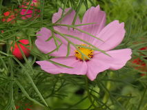 Pink flower. Nice and big pink flower Royalty Free Stock Photos