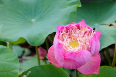 Pink flower. Nusantara park indonesia Royalty Free Stock Photos