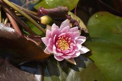 Nymphaea in water basket. Pink flower of Nymphaea in a water basket royalty free stock photos