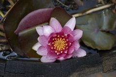 Nymphaea in water basket. Pink flower of Nymphaea in a water basket stock image