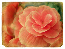 Pink flower. Old postcard. Stock Photo