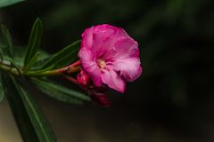 Pink flower oleander or nerium. On the branch,,the arboretum of Sochi,Russia Stock Images