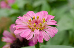 Pink flower. One beautiful pink flower in the garden Stock Images