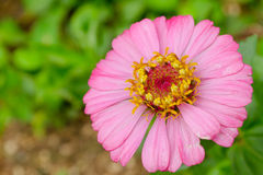 Pink flower. One beautiful pink flower in the garden Royalty Free Stock Image