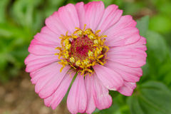 Pink flower. One beautiful pink flower in the garden Royalty Free Stock Images