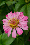 Pink flower. One beautiful pink flower in the garden Royalty Free Stock Photography
