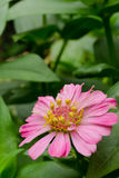 Pink flower. One beautiful pink flower in the garden Stock Photos