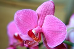 Pink flower of an orchid Royalty Free Stock Photography