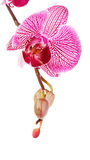 Pink flower of an orchid Phalaenopsis. Stock Image