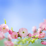 Pink flower of an Oriental cherry Royalty Free Stock Image