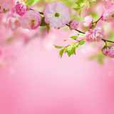 Pink flower of an Oriental cherry Stock Photos