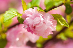 Pink flower of an Oriental cherry Stock Photography