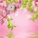 Pink flower of an Oriental cherry Royalty Free Stock Photography