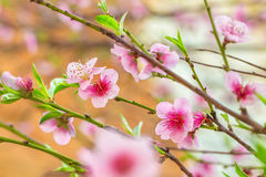 Pink flower on a peach tree branch Royalty Free Stock Images