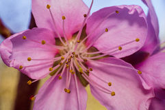 Pink flower of peach tree Royalty Free Stock Photos
